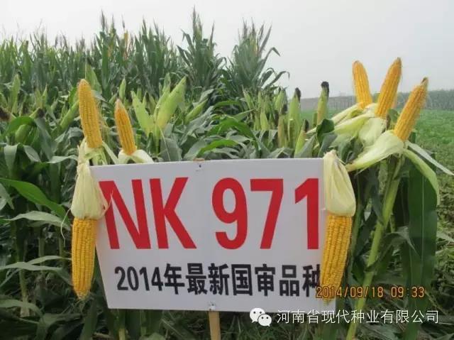 河南玉米成熟期_NK971_现代种业